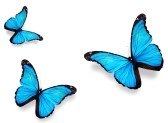11945618-three-blue-butterfly-morpho--isolated-on-white-background